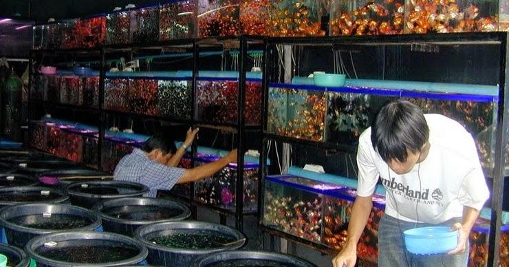 Tempat Berburu Ikan Hias di Bandung - Ikan Hias Air Tawar