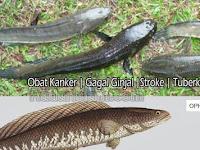 Hebat, Ternyata Ikan Gabus Ampuh Obati Gagal Ginjal, Diabetes, Stroke Hingga Kanker. Sebarkan!