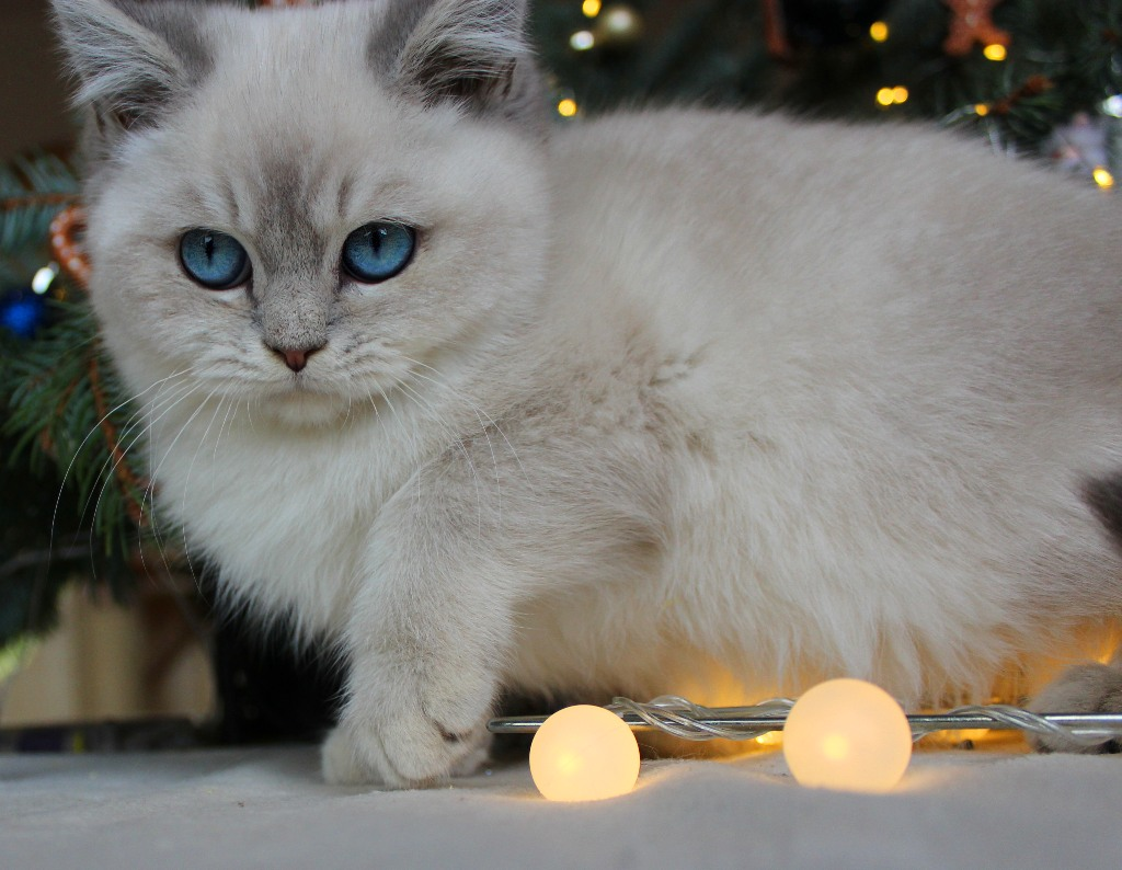 Blue golden Tabby point Britisch Kurzhaar kitten aus der Katzenzucht Tinjas