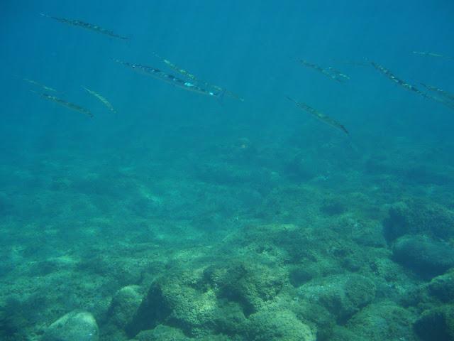 Hornhecht © Canarian Sea 03