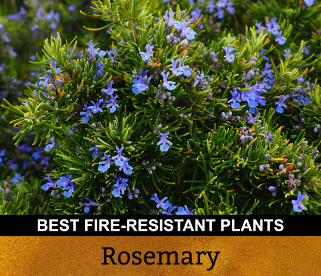 Best Fire Resistant Plants Rosemary