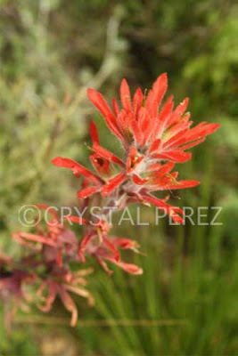 California Native Flowering Plants