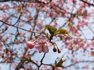 河津桜が大変綺麗で見とれてしまいます。