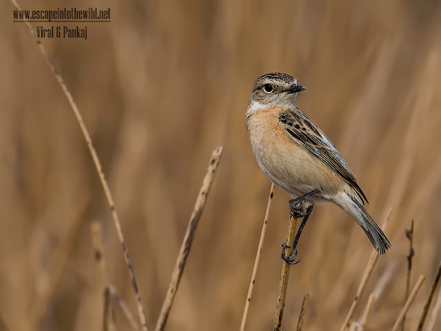 White-browed bushchat