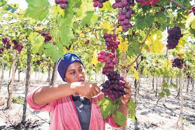 Las uvas de mesa impulsan la economía de Neiba