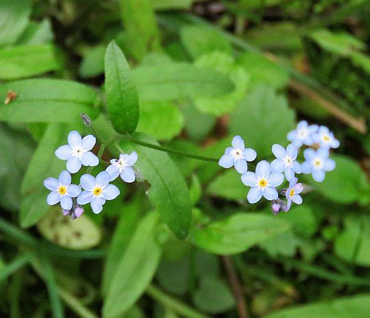 Niezapominajka leśna (Myosotis sylvatica Hoffm.).