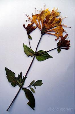 herbier,plantes séchées