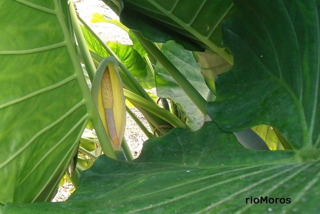 Flores de OREJA DE ELEFANTE Alocasia macrorrhizos