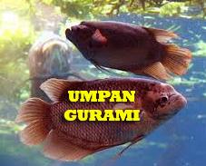 Umpan Mancing Ikan Gurami Yang Susah Makan