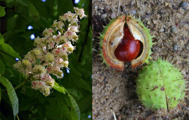 Foglie, fiori, frutti e semi di ippocastano, pianta flebotonica