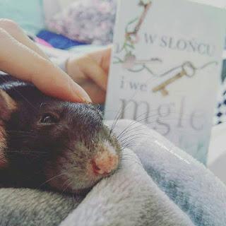Szczur dumbo