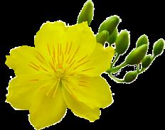 Hoa Mai Rơi Cho Blogspot
