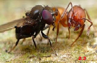 La mosca e la formica (Fedro)