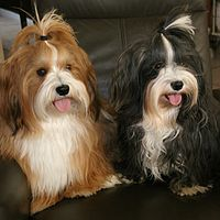 white and red Havanese Dog breed