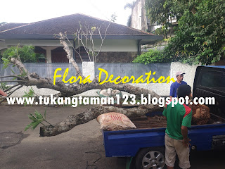 tukang taman minimalis menjual pohon kamboja fosil batang besar dengan harga paling murah serta bebas ongkos kirim, jasa penanaman pohon besar