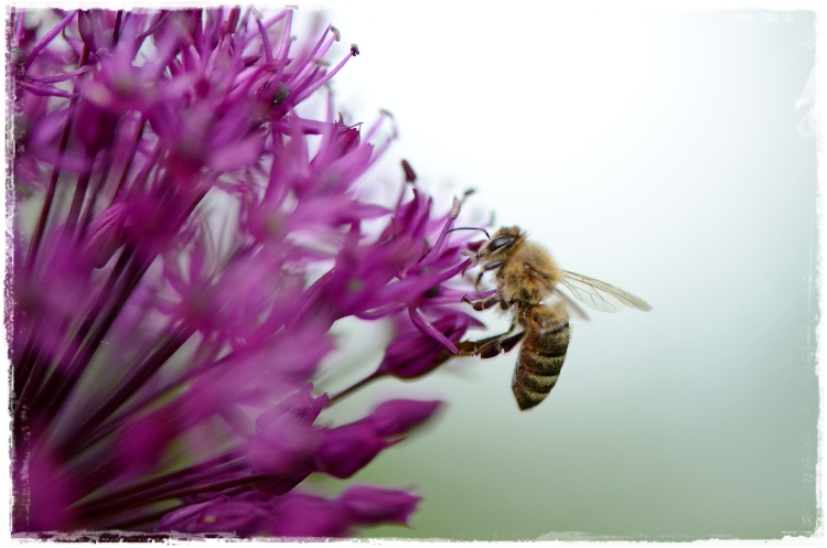 abeille a miel sur fleur d'allium
