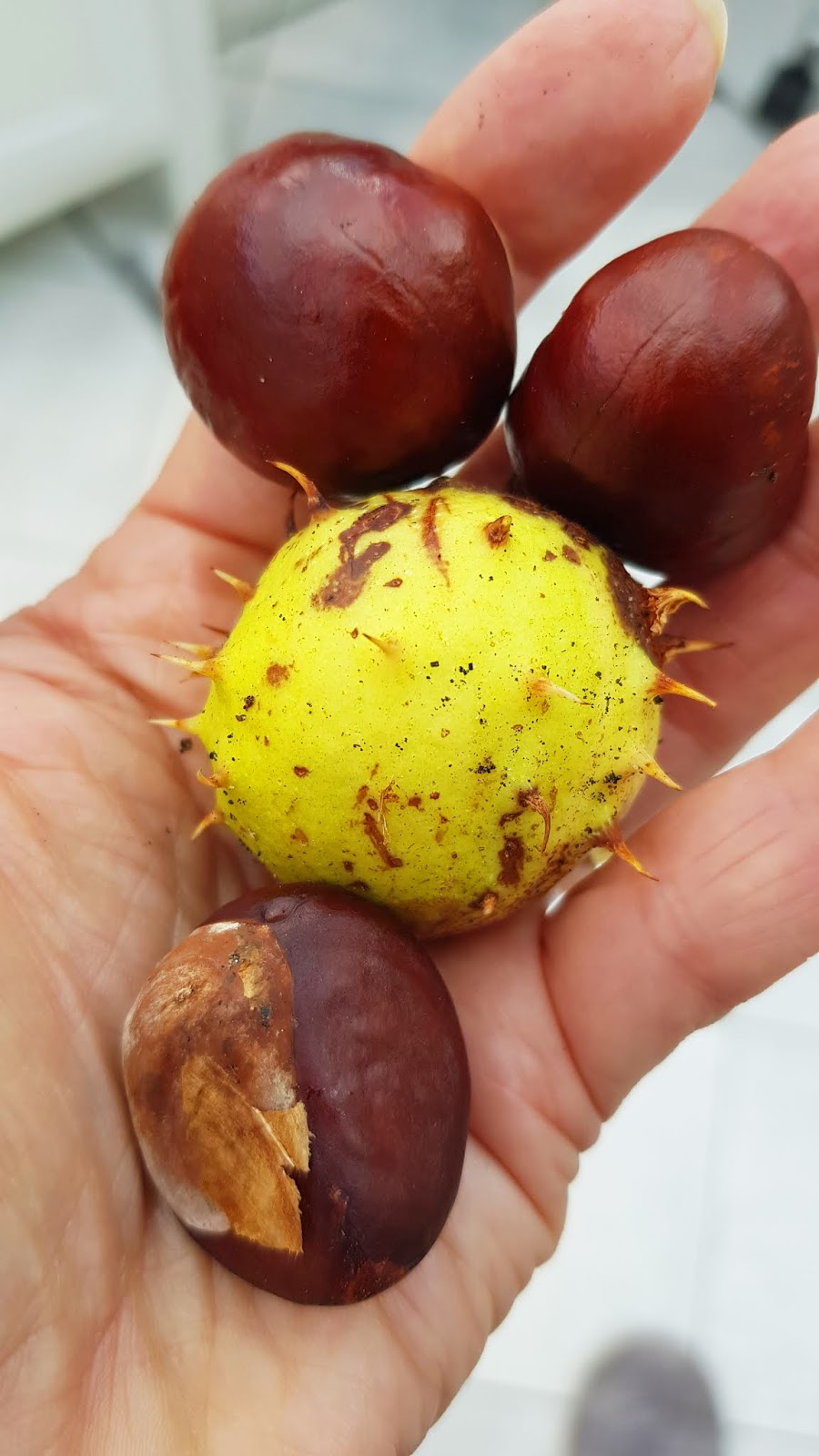 A handful of conkers from a horse chestnut tree