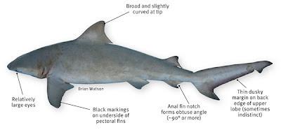 The Bull Shark (Image: Brian Watson)