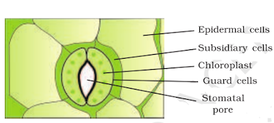 stomata structure