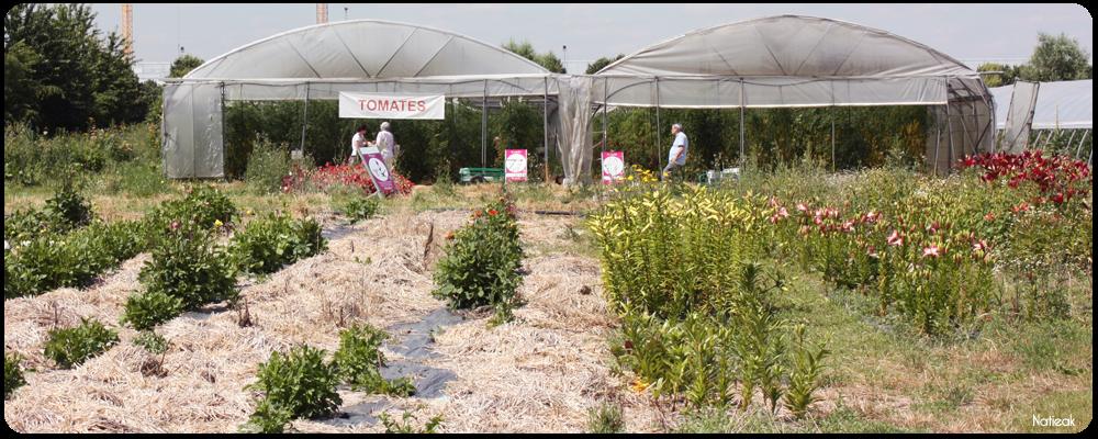 serre de tomates  de la ferme de Servigny