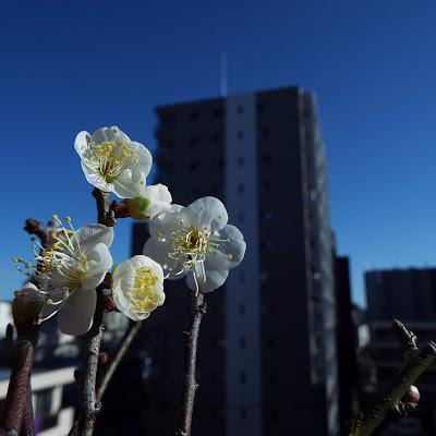 野梅の盆栽