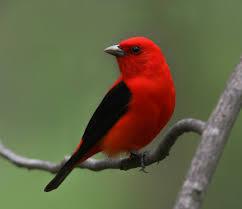pássaro preto e vermelho