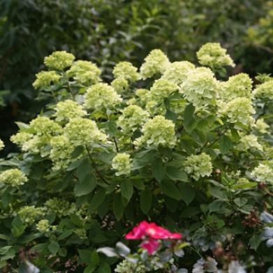 39 Little Lime 39 Hydrangea