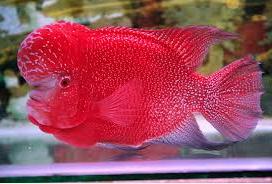 Ikan Louhan Termahal image