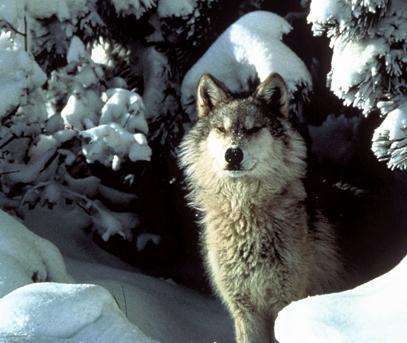 abe s animals cascade mountain wolf