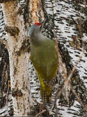 Grey faced Woodpecker