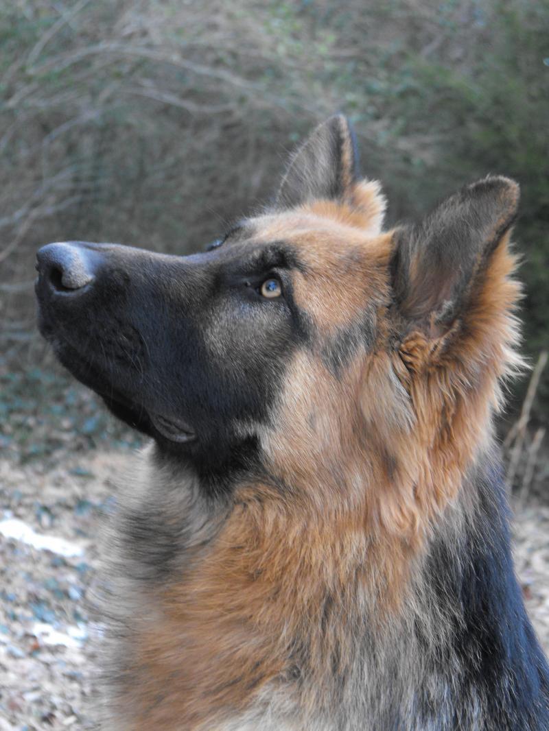 The gallery for --> King German Shepherd Vs Shiloh Shepherd