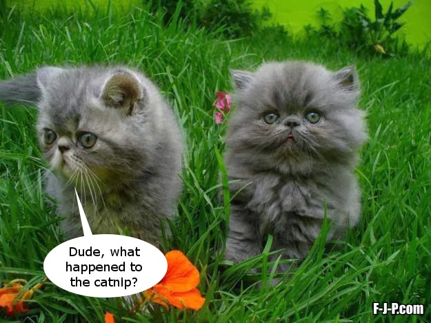 Funny Cat Catnip Meme Joke Picture - Duded, what happened to the catnip?
