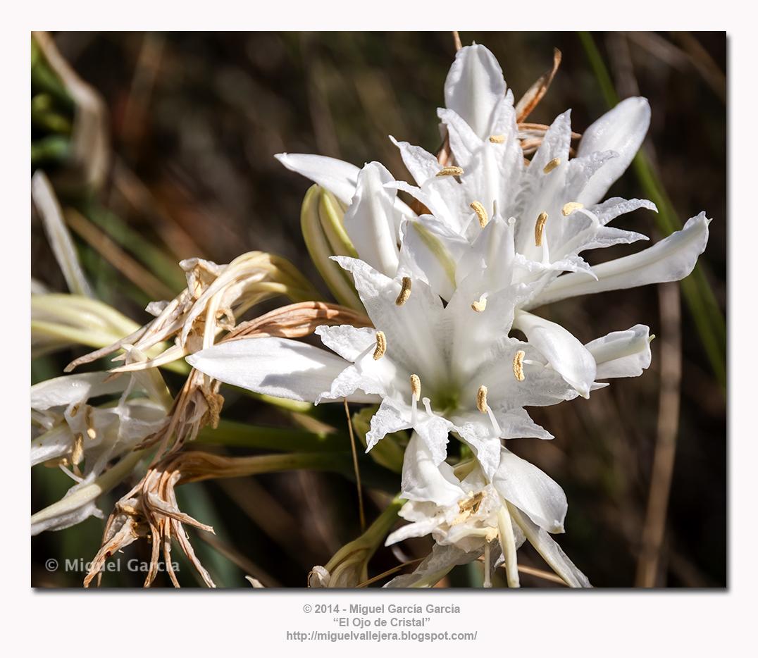 Pancratium Maritimum. Narciso, lirio o azucena de mar.