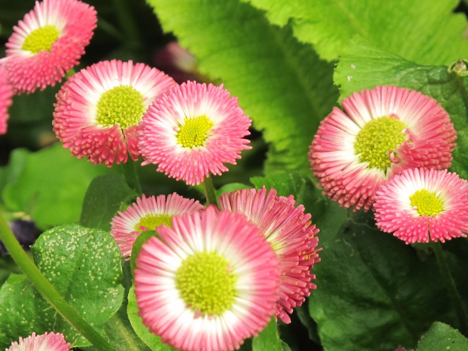 Pictures Wallpaper Fresh Flowers Pernik Wallpaper
