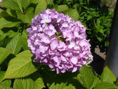 枚方市・市民の森(鏡伝池緑地)の紫陽花