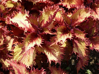 Solenostemon scutellarioides 'Henna' - Plectranthus scutellarioides 'Henna'