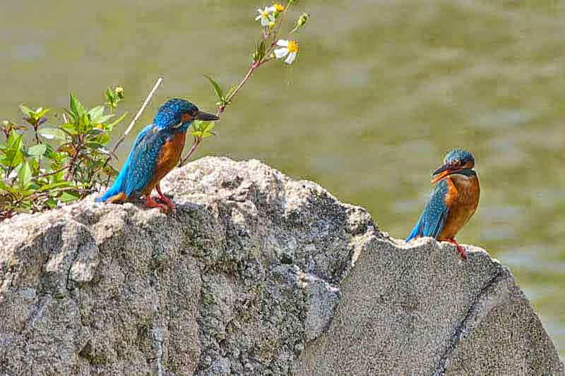 2 kingfishers perched