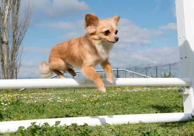 Chihuahua color canela