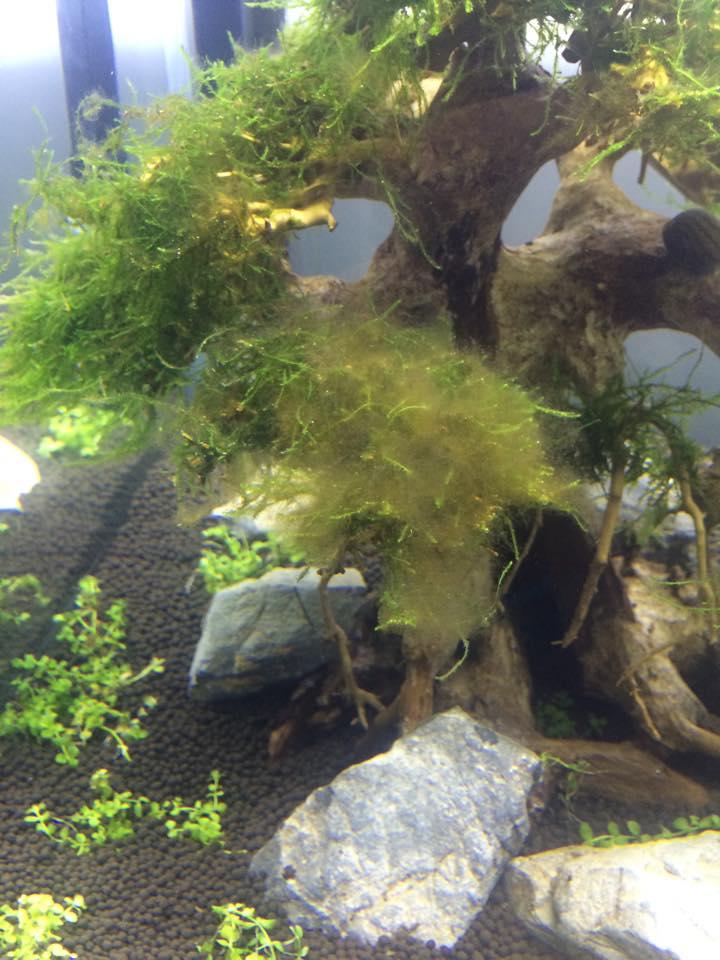 Rêu tóc hay tảo nâu làm nản lòng người chơi thủy sinh