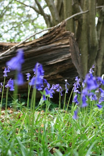 "This image, ""Bluebells In The Wood,"" courtesy of Simon Howden at FreeDigitalPhotos.net"