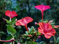 różowe kwiaty dziwaczka