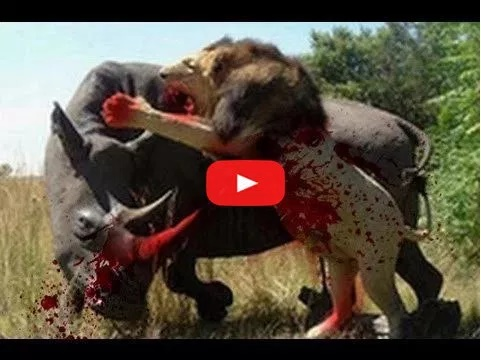 Download Video: LION Vs CROCODILE Vs BUFFALO – UNBELIVEABLE FIGHT !
