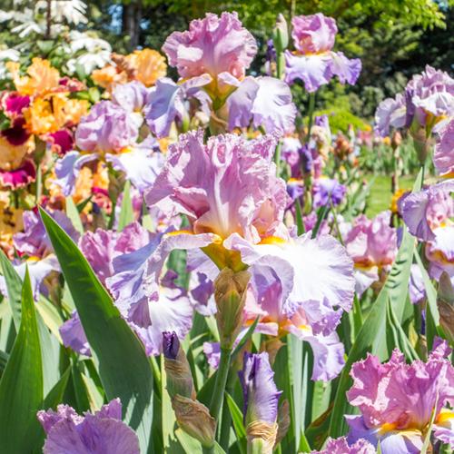 Schreiner's Iris Gardens | LLK-C.com