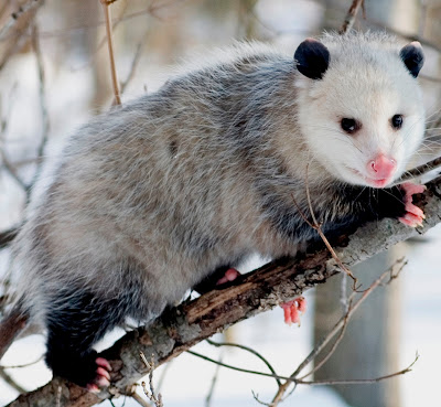 Opossums Facts