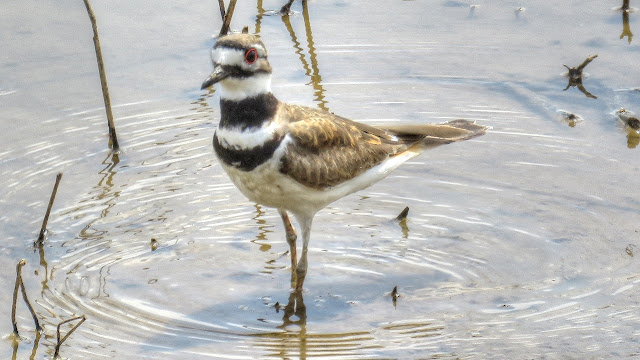 Killdeer Feeding In Wetlands