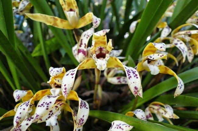 Espécie rara de Orquídea