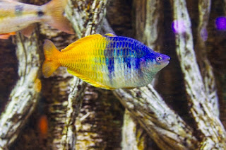 Ikan Aquascape Rainbow Boesemani