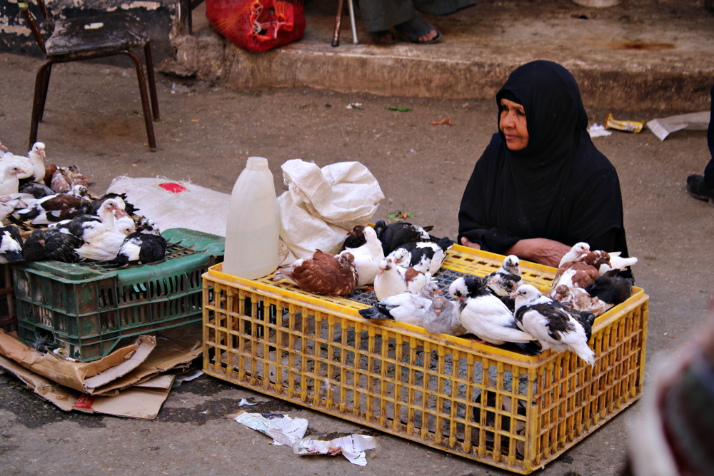 pigeon breeders of cairo
