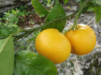 Naranjos, limoneros y mandarinos