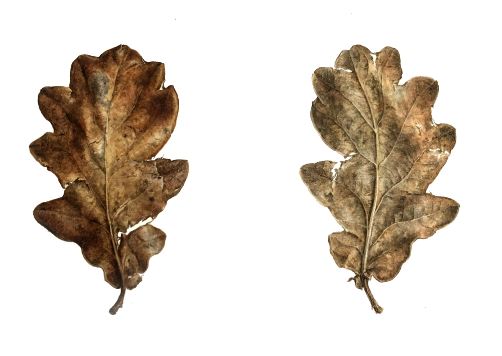 Oak leaf watercolour, front and back view